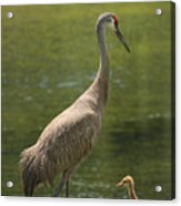 Sandhill Crane With Baby Chick Acrylic Print