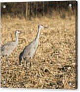 Sandhill Cranes  2015-2 Acrylic Print