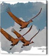 Sandhill Cranes 3 Acrylic Print