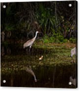 Sandhill Cranes And Chicks Acrylic Print