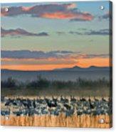 Sandhill Cranes And Snow Geese Acrylic Print