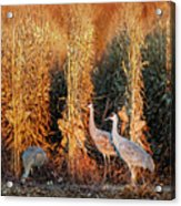 Sandhill Cranes At Sunrise Acrylic Print