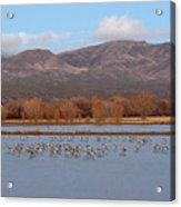 Sandhill Cranes Beneath The Mountains Of New Mexico Acrylic Print