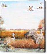 Sandhill Cranes-jp3159 Acrylic Print