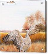 Sandhill Cranes-jp3161 Acrylic Print