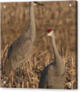 Sandhill Cranes On Watch Acrylic Print