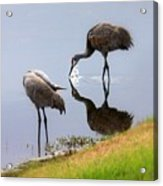 Sandhill Cranes Reflection On Pond Acrylic Print