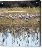 Sandhill Herd By Pond Acrylic Print