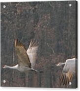 Sandhills In Flight Acrylic Print