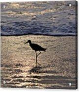 Sandpiper On A Golden Beach Acrylic Print