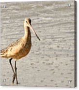 Sandpiper Strolling - Horizontal Acrylic Print