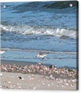 Sandpipers And Seashells - Poster Acrylic Print