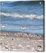 Sandpipers At The Seashore Acrylic Print
