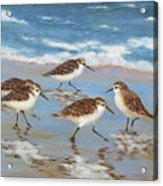 Sandpipers Acrylic Print by Barrett Edwards