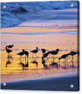 Sandpipers In A Golden Pool Of Light Acrylic Print