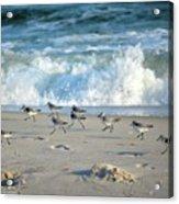 Sandpipers Running Everywhere Acrylic Print