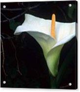 Sandra's Lilly II Acrylic Print