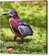 Sanibel Green Heron Acrylic Print