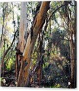 Santa Barbara Eucalyptus Forest Acrylic Print