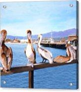 Santa Barbara Pelicans Acrylic Print