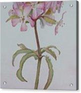 Saponaria Acrylic Print