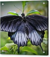 Sapphire Blue Swallowtail Butterfly Acrylic Print