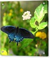 Sapphire Swallowtail Acrylic Print