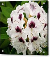 Sappho Rhododendron Acrylic Print