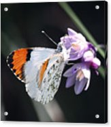 Sara Orange-tip On Wild Hyacinth Acrylic Print