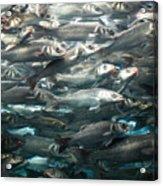 Sardines 1 Acrylic Print