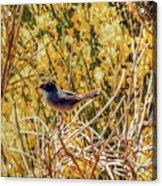 Sardinian Warbler Acrylic Print