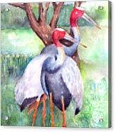 Sarus Cranes Acrylic Print