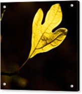 Sassafras Leaf Aglow Acrylic Print