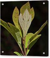Sassafras Leaves Acrylic Print