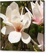 Saucer Magnolia Acrylic Print