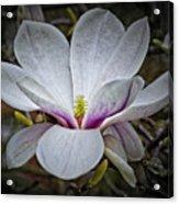 Saucer Magnolia - Magnolia Soulangeana Acrylic Print