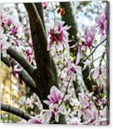 Saucer Magnolias In Central Park Acrylic Print