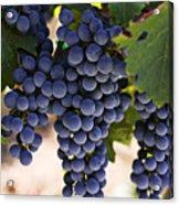 Sauvignon Grapes Acrylic Print by Garry Gay