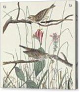 Savannah Finch Acrylic Print