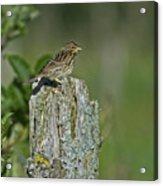Savannah Sparrow.. Acrylic Print