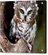 Saw-whet Owl Acrylic Print by Wade Aiken