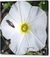 Sawfly On A Beach Morning Glory Flower Acrylic Print