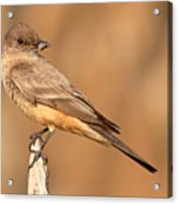 Say's Phoebe Looking Back With Insect Grasped In Beak Acrylic Print