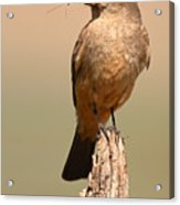 Say's Phoebe On Perch With Grasshopper In Beak Acrylic Print