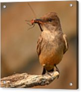 Say's Phoebe Pausing With Freshly Caught Red Dragonfly In Beak Acrylic Print