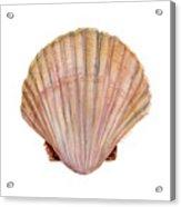 Scallop Shell Acrylic Print