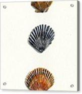 Scallop Shell Trio Acrylic Print by Sheryl Heatherly Hawkins