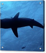 Scalloped Hammerhead Shark Underwater View Acrylic Print by Sami Sarkis