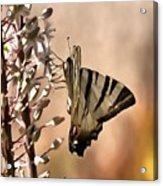 Scarce Swallowtail Feeding Acrylic Print
