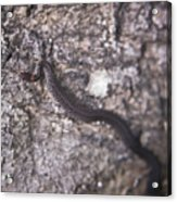 Scared Barter Snake Acrylic Print